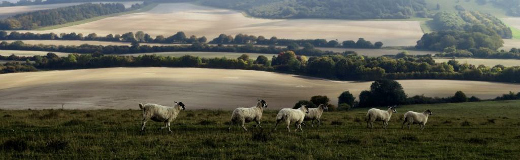 moutons dans une prairie en montagne