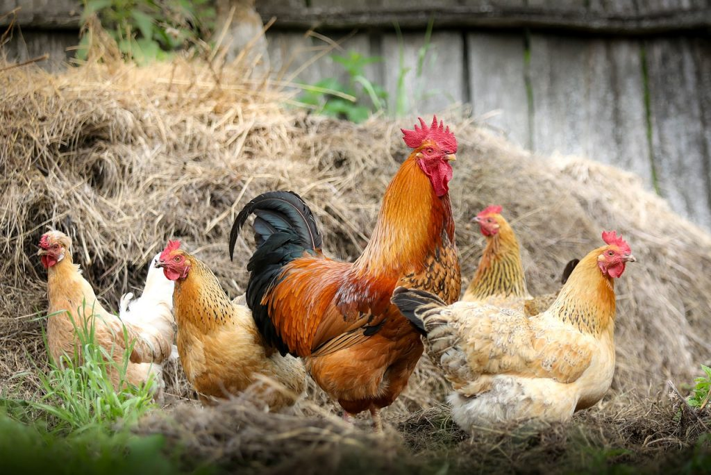 quatre poule et un coq à la ferme