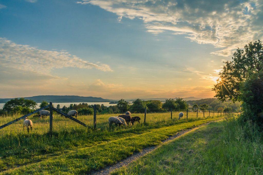 paysage d'un champ de mouton au couchez du soleil